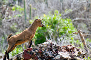 A young mountain goat along the path to the natural pools.