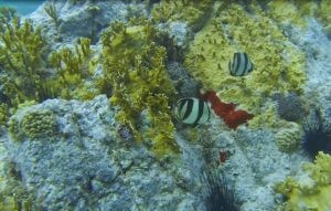 2 Banded Butterfly Fish at the Coral Reef in Colombier