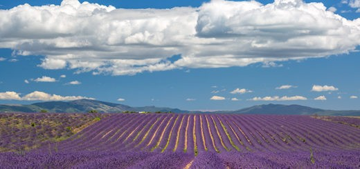 Lavender Fields on Valensole Plateau, Provence, France